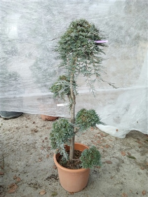 Juniperus wildtonii