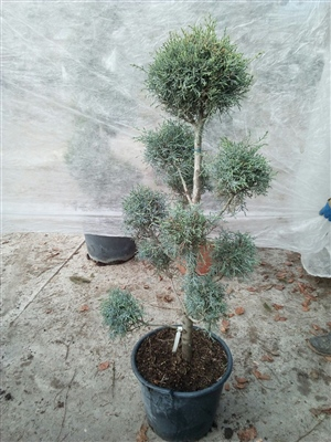 Juniperus Arisonica