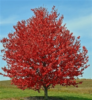 Acer rubrum Red Sunset RotAhorn