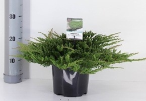 Juniperus Horizontails Pronce of Wales